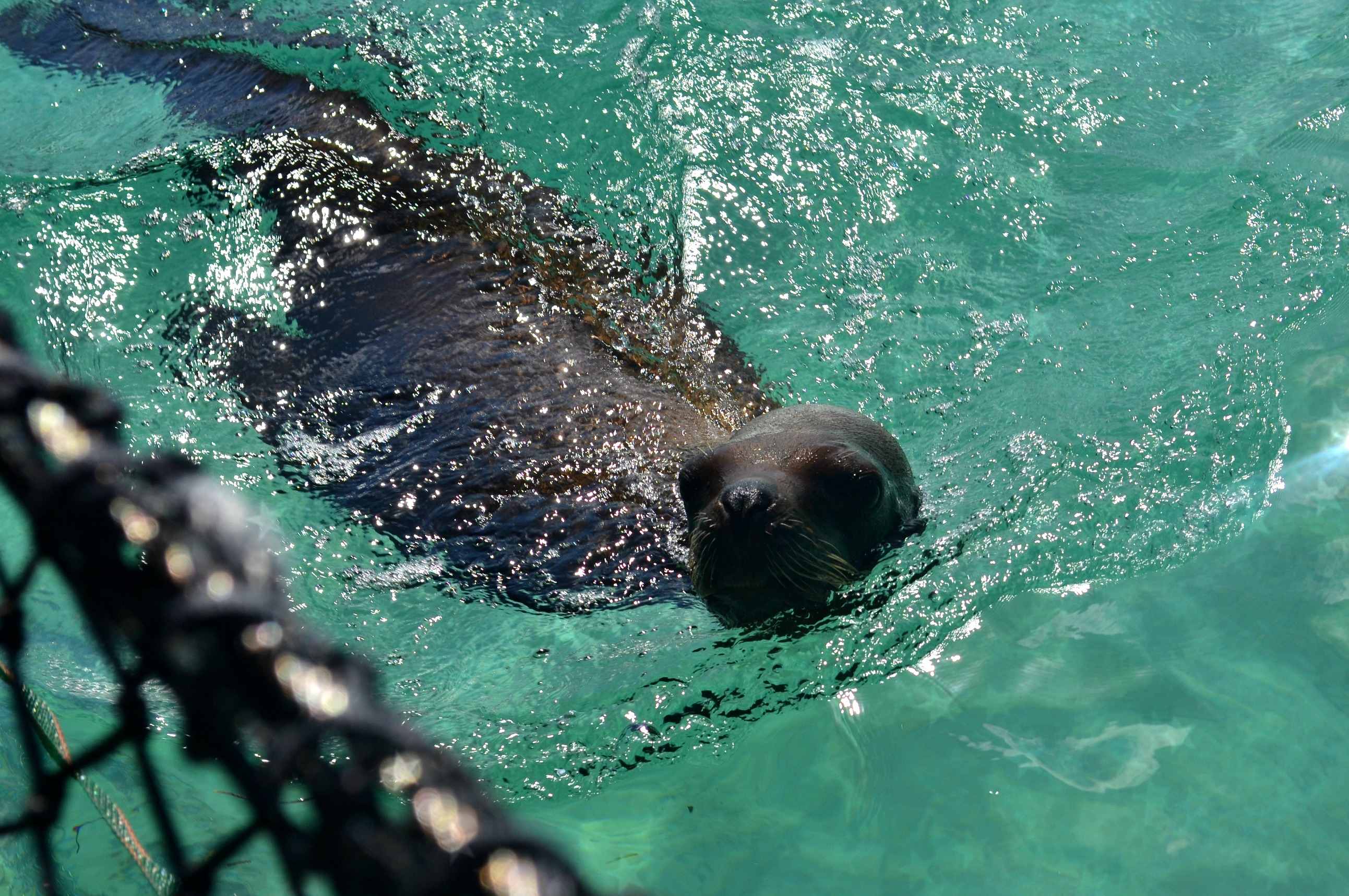 Seal in the Dominican Republic
