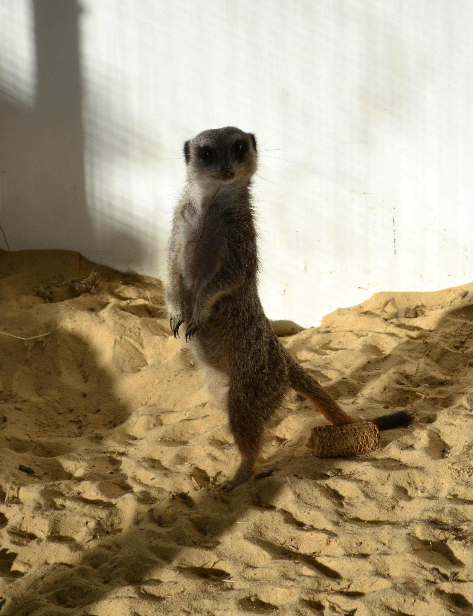 Miles the Meerkat