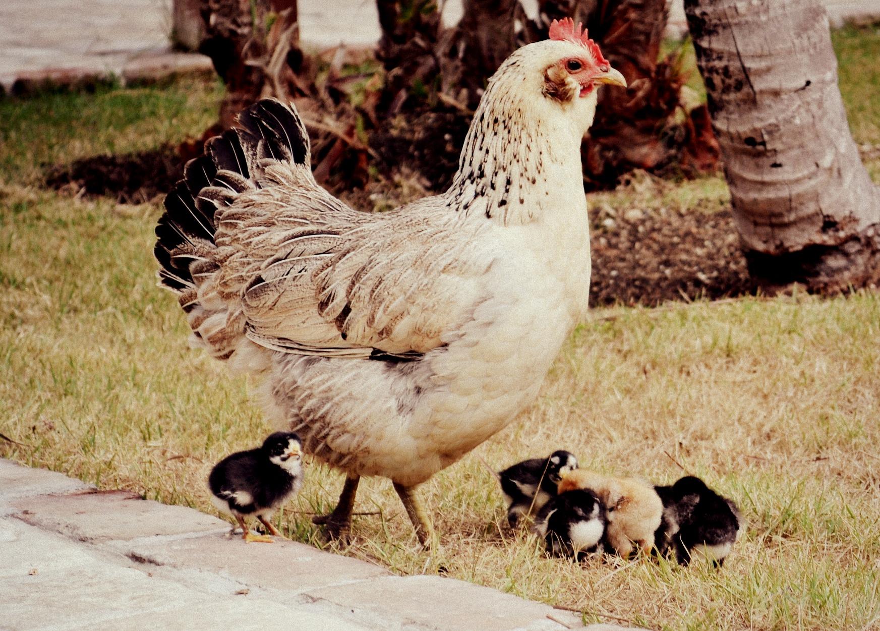 Chicken Family, Punta Cana