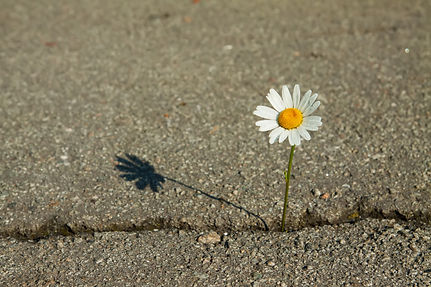 Alone camomile flower on a road in black