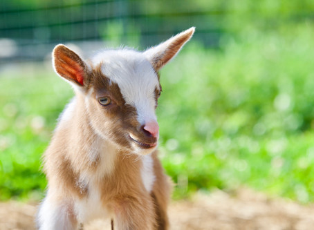 Goat Care Information
