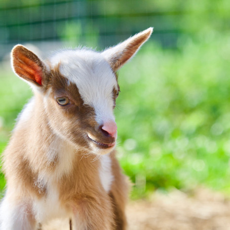 Goat Care Information