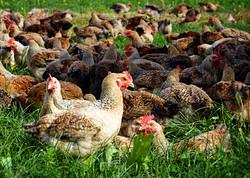 field_o_chicken