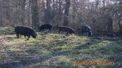 hogs in trees