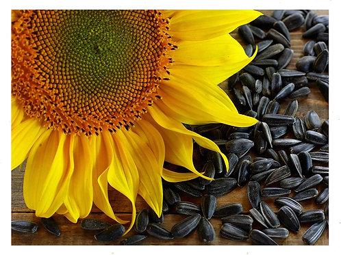 Black Oil Sunflowers