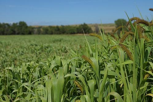 Golden German Hay Millet