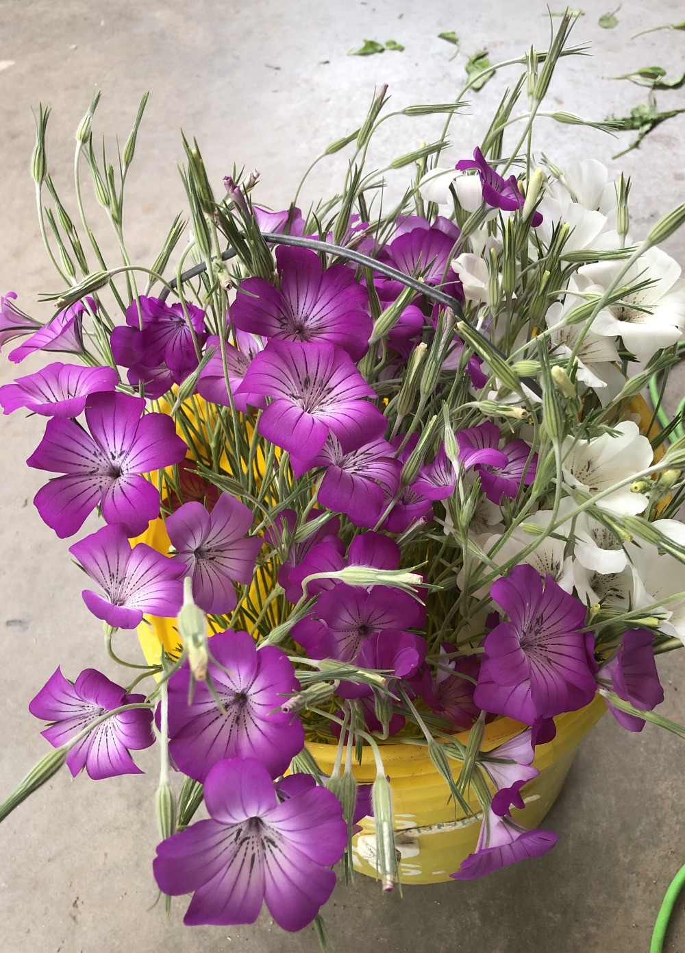 Delicate purple and white flowers in a yellow bucket