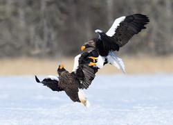 Eagle Fighting