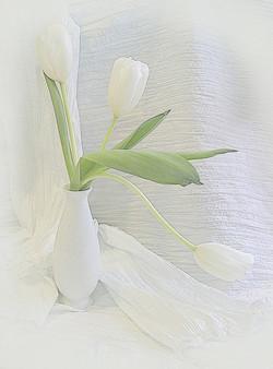 Three white tulips