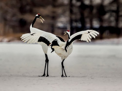 Red Crowned Crane Dancing
