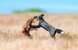 Fox's playing