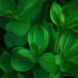 Emerald Twilight Corn Lillies
