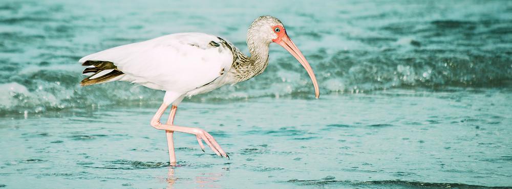 White Ibis. designartlove.com