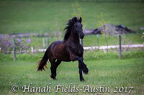 Black Hills Friesians