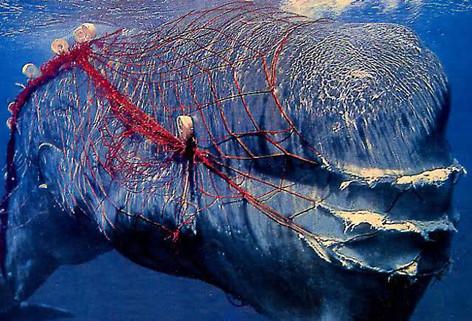 Las ballenas, las grandes víctimas de las redes de pesca