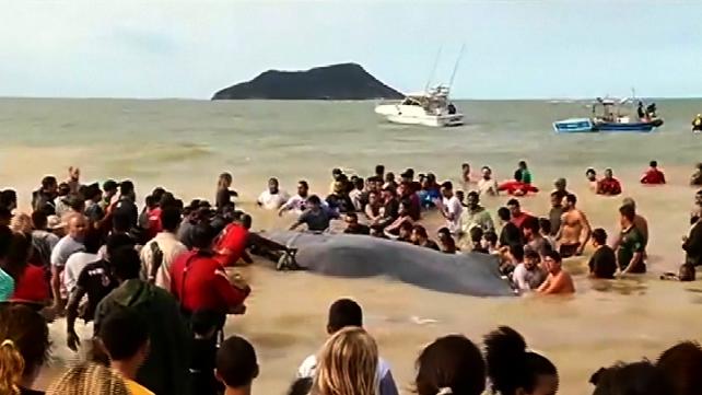 Bañistas participan en dramático rescate de un bebé ballena en playa de Rio de Janeiro, Brasil (vide