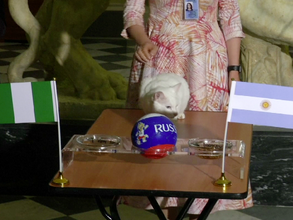 Aquiles, el gato oráculo de Saint Petersburgo, en Rusia predice el ganador del partido Argentina vs.