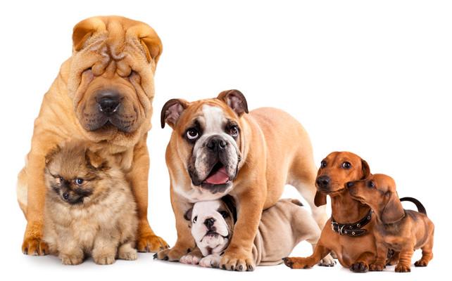 Son seleccionadas las cinco razas de perros más populares en EE.UU. ¿La del tuyo está entre ellas? (