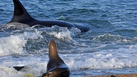 Ataques de Orcas contra lobos marinos, la nueva atracción turística en la Patagonia Argentina (video