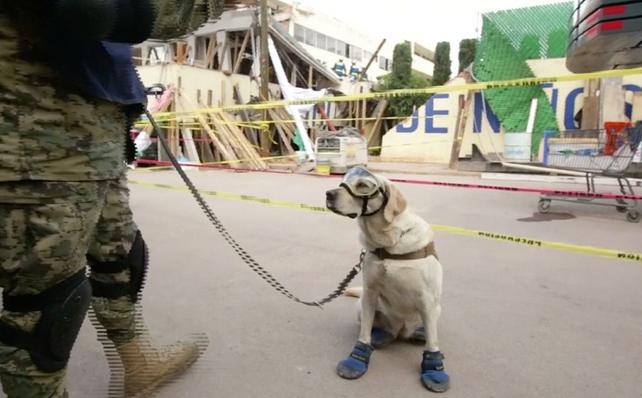 Frida: La perra rescatista de México que se ha ganado el corazón de todos por su trabajo incansable