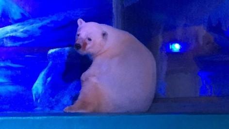 """""""Pizza"""" el oso polar más triste del mundo"""