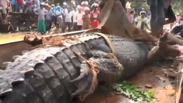 Capturan al cocodrilo gigante de Matara