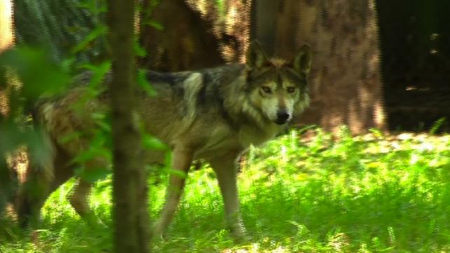 Nacen 7 lobos mexicanos en zoológico de Ciudad de México, un paso de avance para especie en peligro.