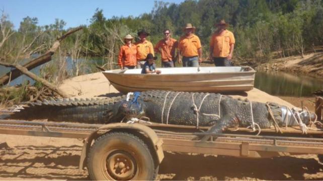 Capturan cocodrilo gigante después de casi una década de búsqueda (video)