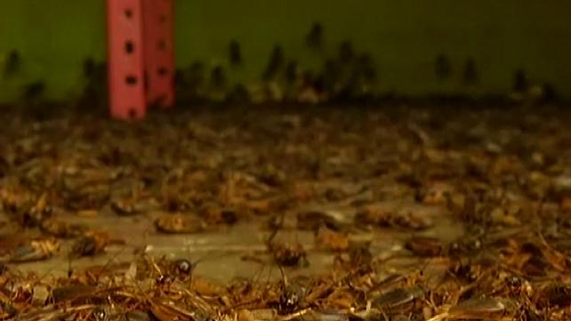 Invasión de grillos vuelve locos a los residentes de un pueblo de Perú (video)