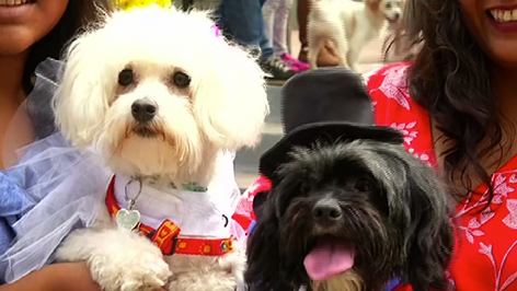 Con bombos, platillos y huesos celebran boda canina en Perú. De testigos sirvieron los gatos (video)