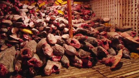 Capturan en islas Galápagos barco pirata chino con miles de cabezas de tiburón martillo a bordo (vid
