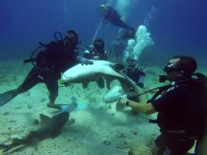 Buzos cubanos de Cayo Largo montan un atrevido show submarino con tiburones  (video)