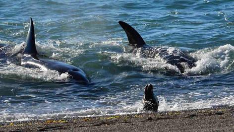 El ataque de orcas a lobos marinos, el nuevo imán para turistas y científicos en la Patagonia argent