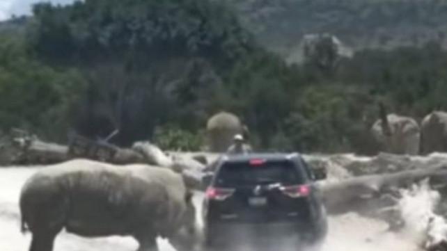 Rinoceronte en celo embiste camioneta con una familia dentro en el zoológico de Puebla, México (vide