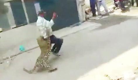 Un leopardo salvaje desata momentos de pánico en las calles de una populosa ciudad (video)