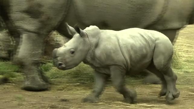 Nace en Chile la primera cría de Rinoceronte Blanco en Sudamérica (video)