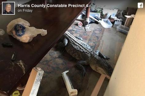 Encuentran enormes caimanes en casas de Houston después de inundaciones de Harvey (video)
