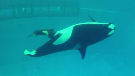 Revelan el video del nacimiento de la última orca nacida en cautiverio (video)