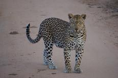 Kruger Kats