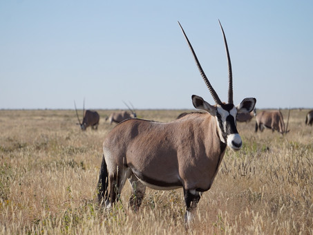 The Oryx