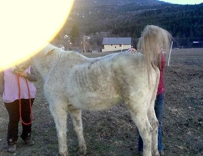 Ostéopathe pour chevaux LEONCINI Amandine : Testing du sacrum chez un cheval