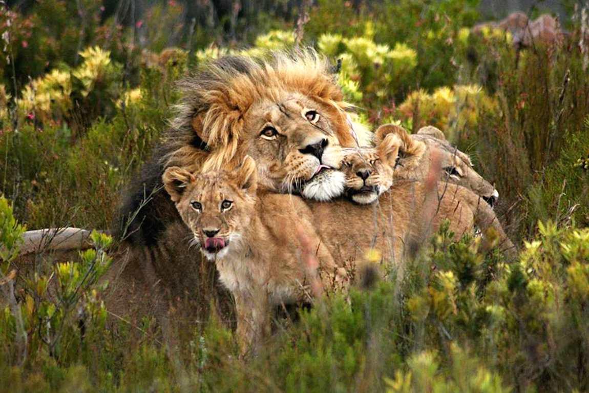wildlife-lions.jpg