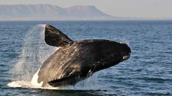 nws-st-humpback-whale-south-africa.jpg