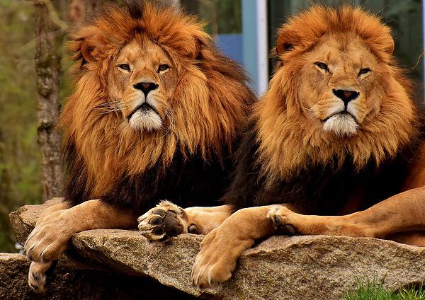 lion-ea36b00d2e_1920.jpg
