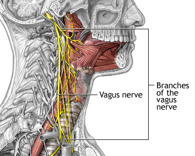 Visual description of the vagus nerve and its branches