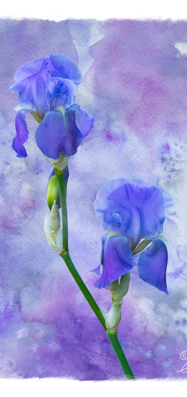 Monets Iris