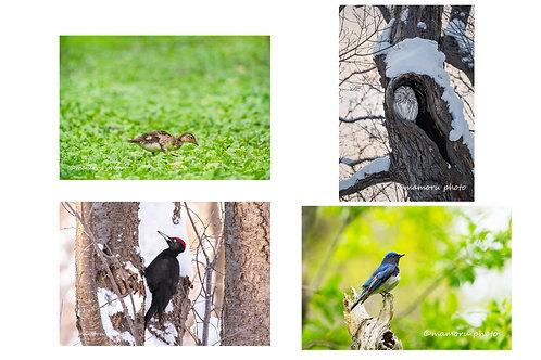 ポストカード(冬・春の野鳥)4枚