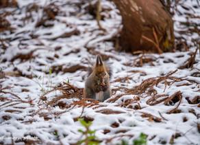 冬のエゾリス Winter Hokkaido squirrel.