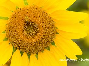 ひまわりのように Like a sunflower.