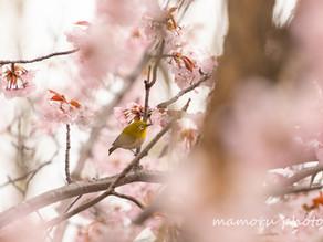 春のひと時 A moment of spring.